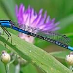 Azure Bluet (female)