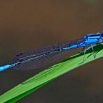 Azure Bluet (male)