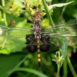 Black Saddlebags Dragonfly (Female)
