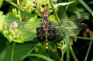 Black Saddlebags Dragonfly (Female)