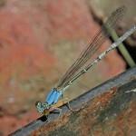 Blue Fronted Dancer (female)
