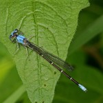 Blue Fronted Dancer (male)