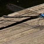 Blue Tipped Dancer (female)