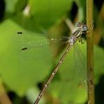 Common Spreadwing (male)