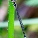 Eastern Forktail (female) #2