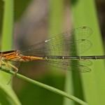 Eastern Forktail (male - orange form)