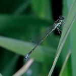 Fragile Forktail (male)