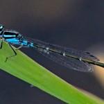 Skimming Bluet (male)