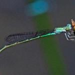 Slender Bluet (female)