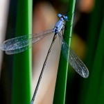 Sweetflag Spreadwing