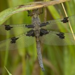 Prince Baskettail Dragonfly