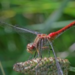 Yellow- Legged Meadowhawk Dragonfly