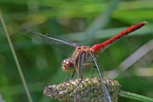 Yellow- Legged Meadowhawk Dragonfly