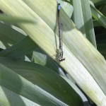 Eastern Forktail Damselfly (Mature Male)