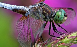 Common Blue Dasher Dragonfly