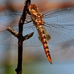 Spot Winged Glider Dragonfly