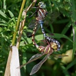 Lance-Tipped Darner Dragonfly
